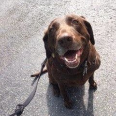Molly the Chocolate Lab | Seattle Dog Zone